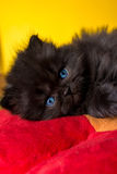 Persian cat puppy. On white background Stock Photos