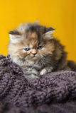 Persian cat puppy. On white background Royalty Free Stock Photography