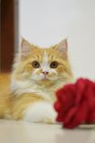 Persian cat with red rose Royalty Free Stock Photos