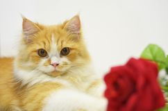 Persian cat with red rose Royalty Free Stock Images