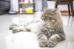 Persian cat. Relax on floor stock photography