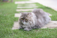 Persian cat. Relax on green grass stock image