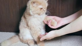 Persian cat shaking hand with people