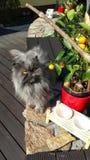 Persian cat. Silver persian cat is outdoor. Cat eyes stock image