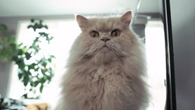 Persian cat sitting on box while earthquake coming with 4k resolution. Persian cat sitting on box while earthquake coming with 4k resolution stock video