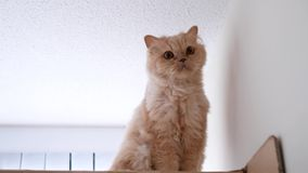 Persian cat sitting on box while earthquake coming stock video footage