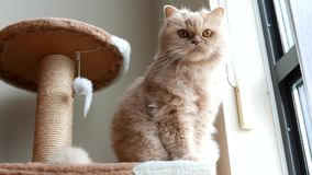 Persian cat sitting on cat tree and playing with people. At home