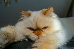Persian cat sitting on a couch looking at the camera stock photos