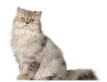 Persian cat, sitting in front of white background Royalty Free Stock Images