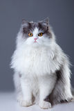 Persian cat sitting on grey background Royalty Free Stock Photo