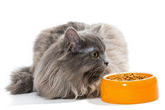 Persian cat sitting near the bowl of dry food Stock Photography