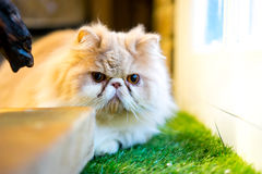 Persian cat sitting in the room Stock Images