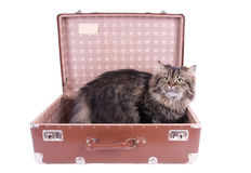 Persian cat sitting in vintage suitcase Stock Photo