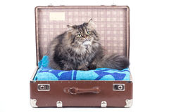 Persian cat sitting in vintage suitcase Stock Photos