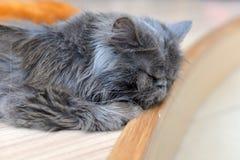 Persian cat sleep Stock Photography
