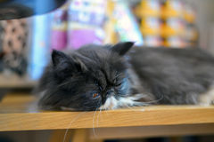 Persian cat sleep Royalty Free Stock Images
