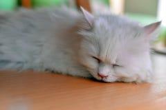 Persian cat sleep Royalty Free Stock Photo