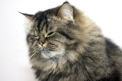 Persian cat sleeps sitting Stock Photo