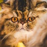 Persian cat snout Stock Photo