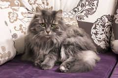 Persian cat on sofa. Persian cat lying on sofa Stock Photos