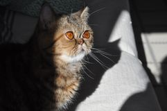Brown exotic shorthair, big eyes. On a sofa stock image