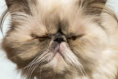Persian cat with sore eyes. The persian cat with sore eyes Royalty Free Stock Photo