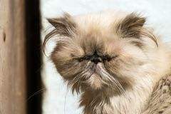 Persian cat with sore eyes. The persian cat with sore eyes Stock Image