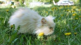 Persian cat. Spring in a green lawn in yellow dandelion flowers. Ultra HD 4K stock video footage