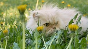 Persian cat. Spring in a green lawn in yellow dandelion flowers. Ultra HD 4K stock video footage