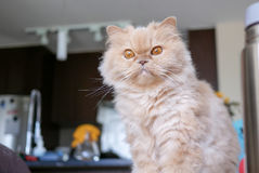 Persian cat staring at camera at home Royalty Free Stock Images