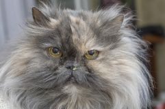 Persian cat with teary eyes and snotty nose close up. Persian cat, a breed of long-haired cats, one of the oldest and most popular in the world close up Stock Images