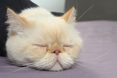 Persian cat is tired Royalty Free Stock Images