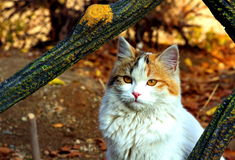 Persian cat. A Persian cat at the top the mountains of Tehran Royalty Free Stock Photos