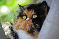 Persian cat. On a tree Royalty Free Stock Photography