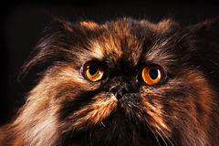 Persian cat in turtle colors Stock Photo