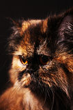 Persian cat in turtle colors Stock Photos