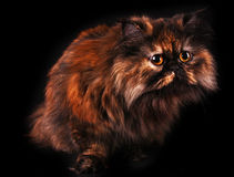 Persian cat in turtle colors on black Royalty Free Stock Photo