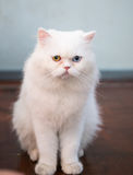 Persian cat two color eyes Stock Images