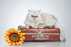 Persian cat on vintage suitcase Stock Photo