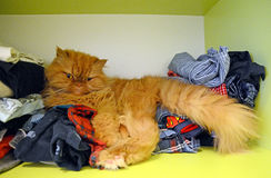 Persian cat in wardrobe. Beautiful orange persian cat sitting on clothes in wardrobe Stock Images