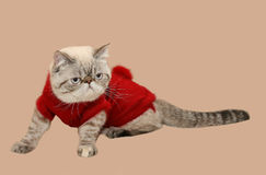 Persian cat in a warm sweater Stock Photography
