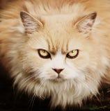 Persian cat warning gaze close up portrait. Persian cat with warning gaze close up portrait Stock Photography