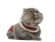 Persian cat wearing a tartan harness, lying, looking up Royalty Free Stock Photos