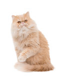 Persian cat on the white background. Cream color persian cat on the white backround Stock Images