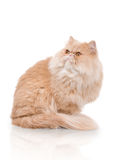Persian cat on the white background. Cream color persian cat on the white background Royalty Free Stock Photography