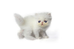 Persian cat. Persian cat on white background Stock Photography