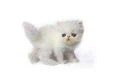 Persian cat. Stock Photography