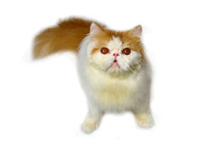 Persian cat. Stock Photos