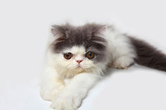 Persian cat. Persian cat on white background Stock Photo