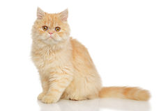 Persian cat on white Stock Photography